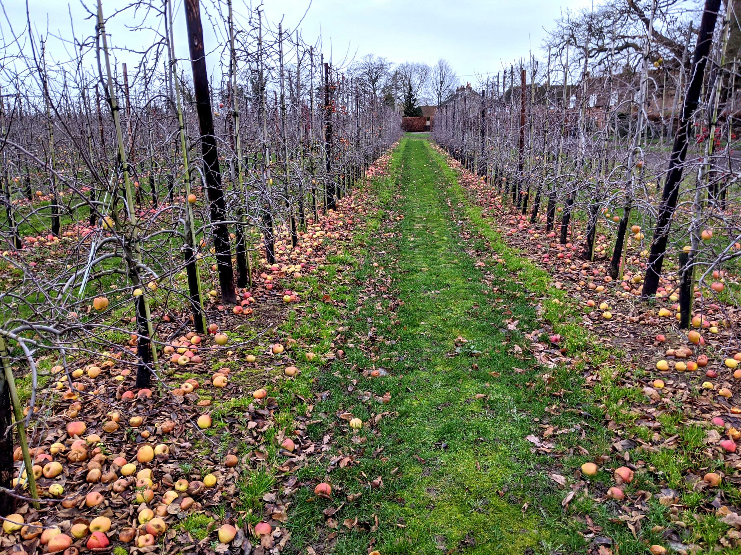 Food Waste in Apple Orchards